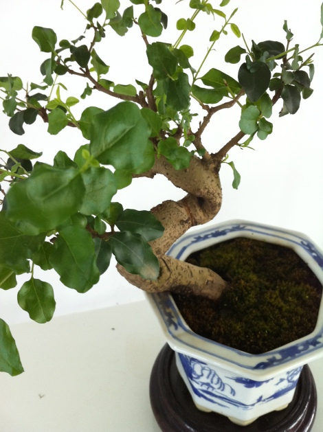 The cultural centre in the village has some pretty bonsai trees...
