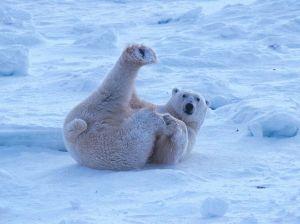 Goofy polar bear